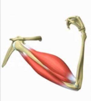 contraccion-muscular